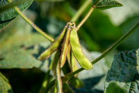 a close up of green soybeans hanging on the vine